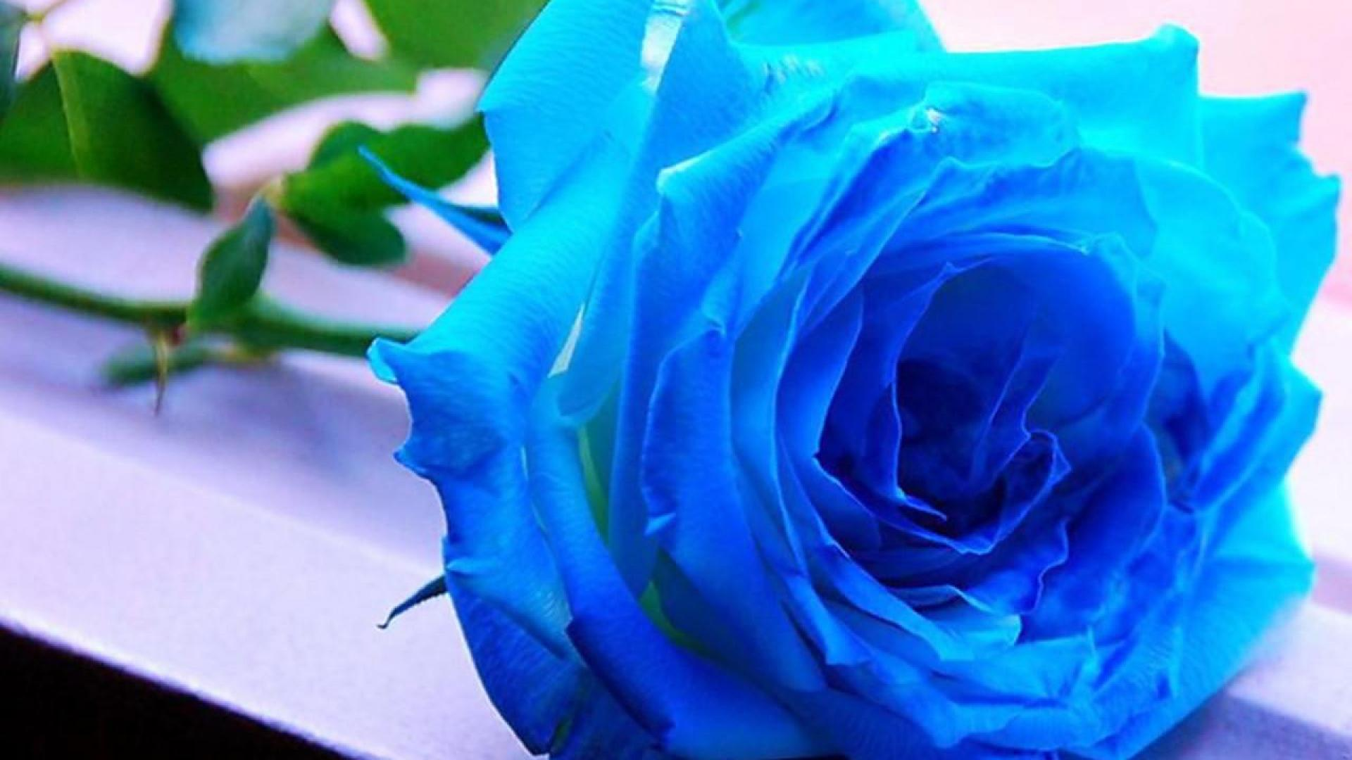 blue-rose-wallpaper-hd-backgrounds-for-desktop-09