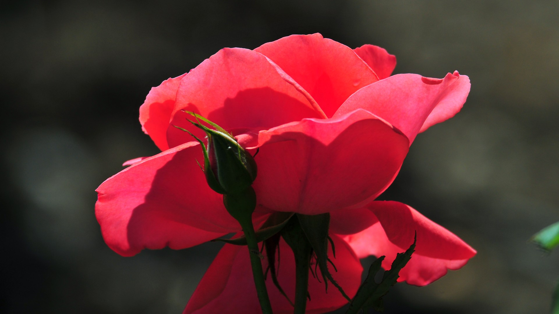 cool-pink-roses-flowers-hd-wallpaper-background-08