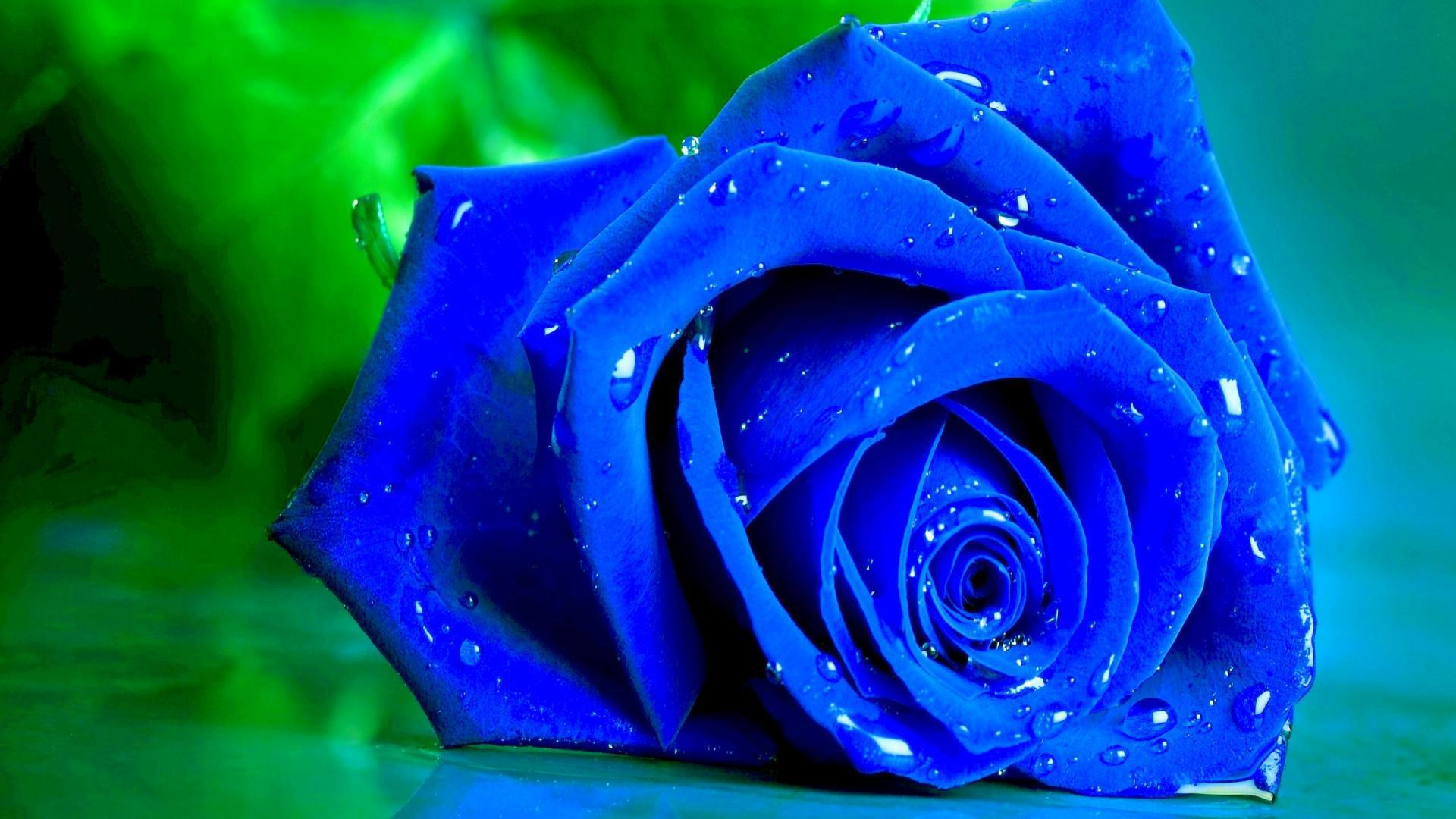 flowers-wet-blue-rose-on-a-green-wallpaper-hd-06
