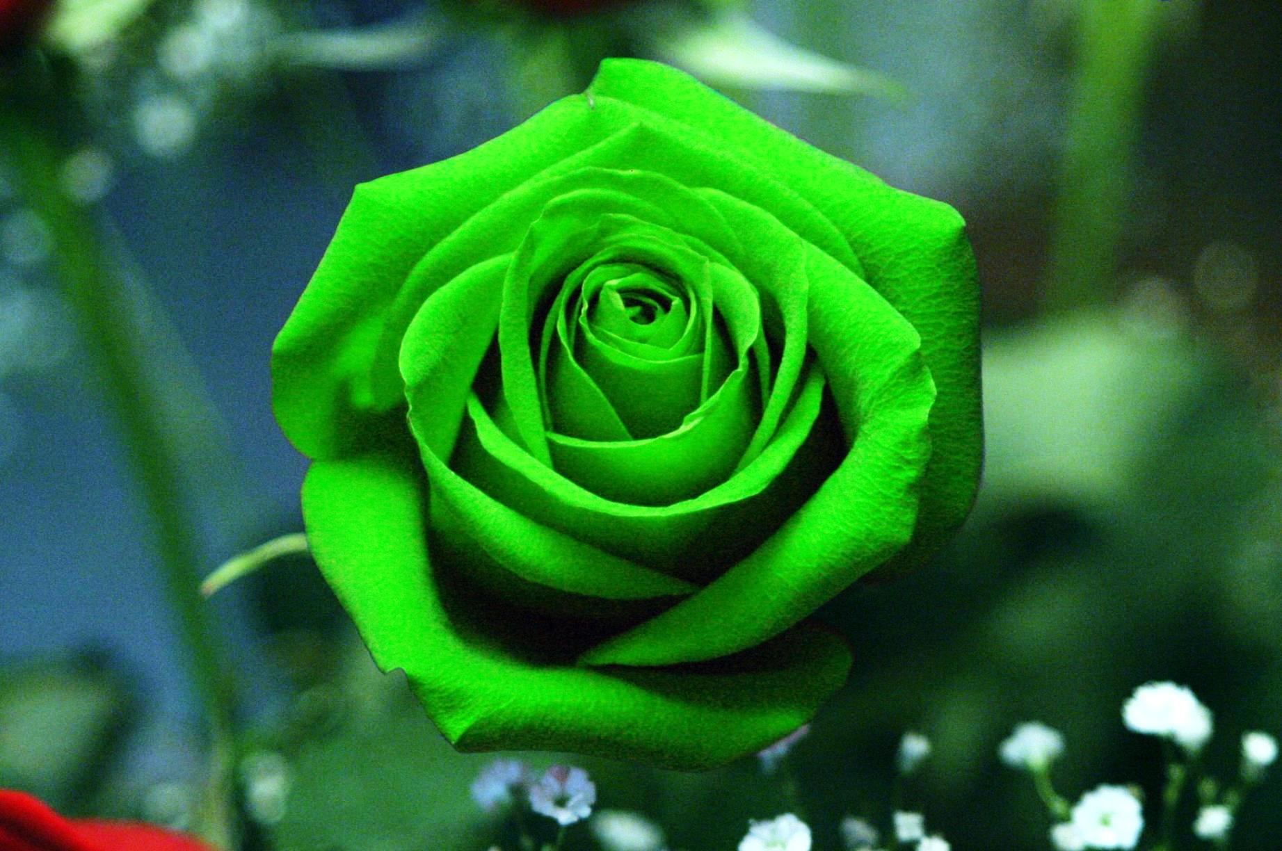 green-rose-flower-wallpaper-hd-background-05