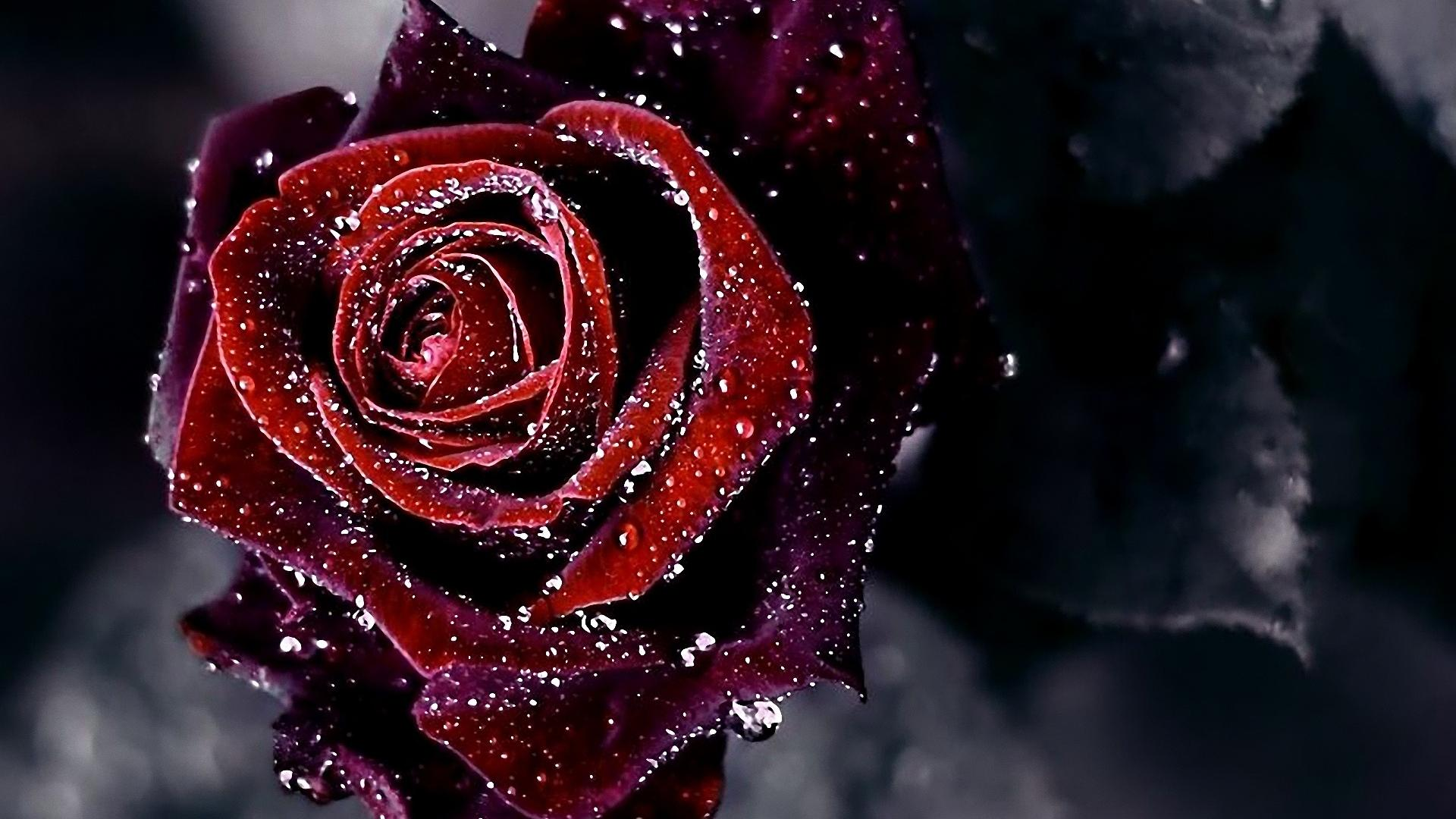 red-flowers-hd-wallpapers-rose-backgrounds-for-desktop-03