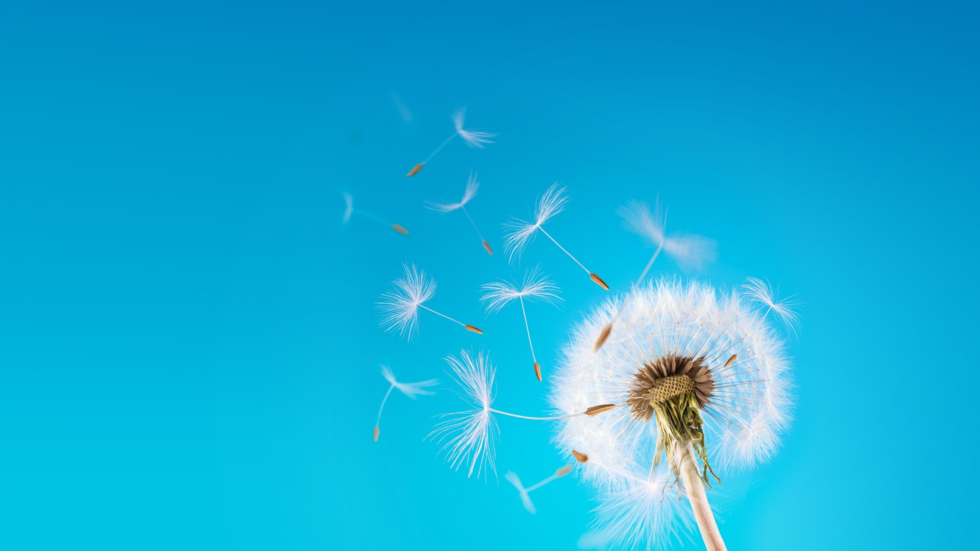 Dandelion-Background-Wallpapers-HD-Free-Download-01
