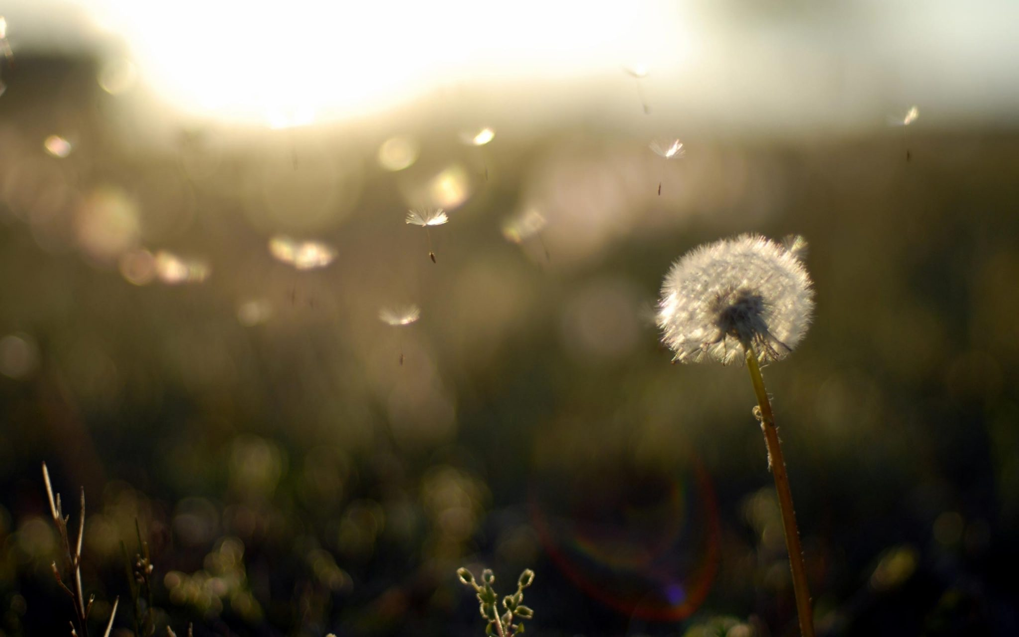 Dandelion-Background-Wallpapers-HD-Free-Download-03