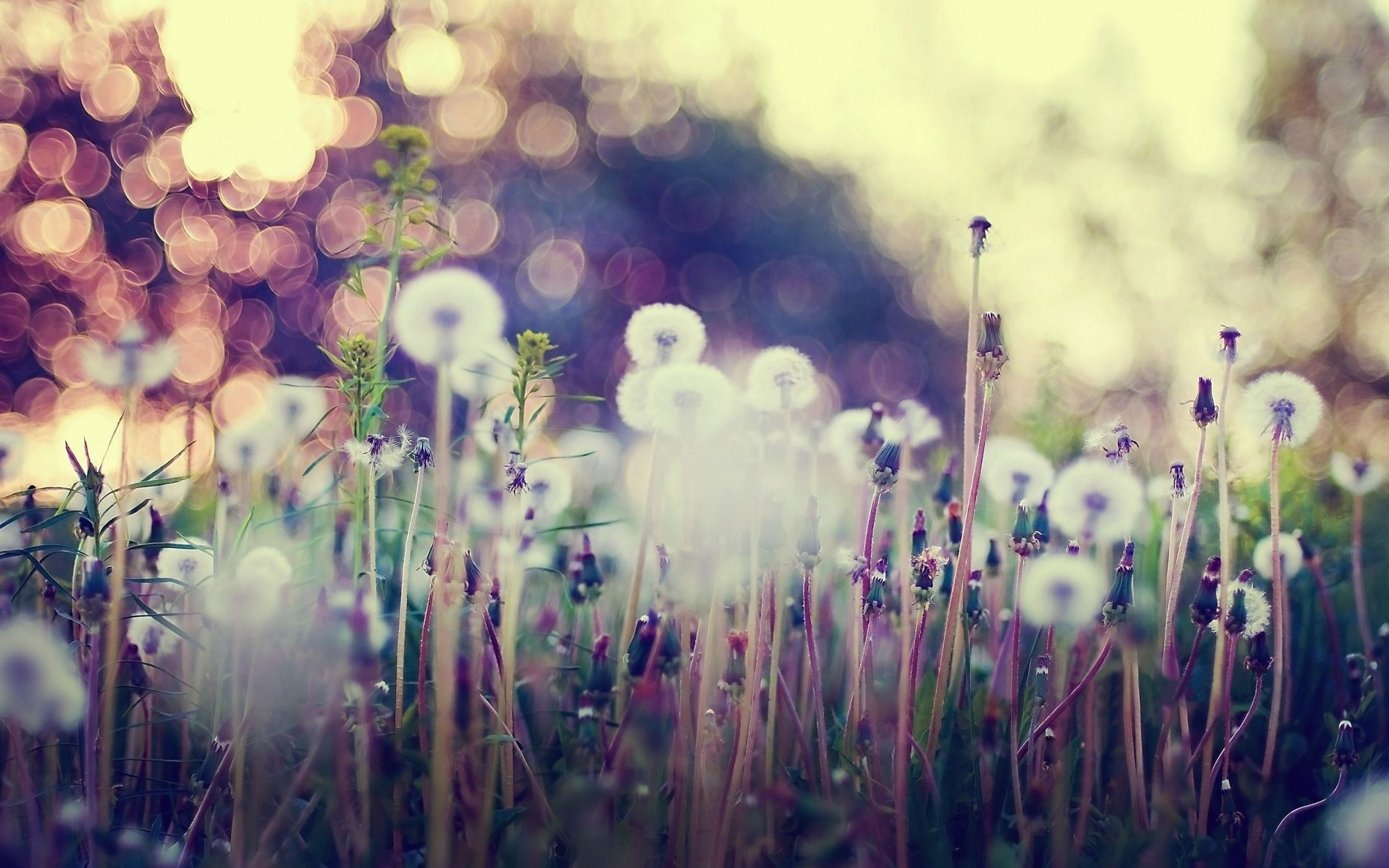 Dandelion-Background-Wallpapers-HD-Free-Download-04