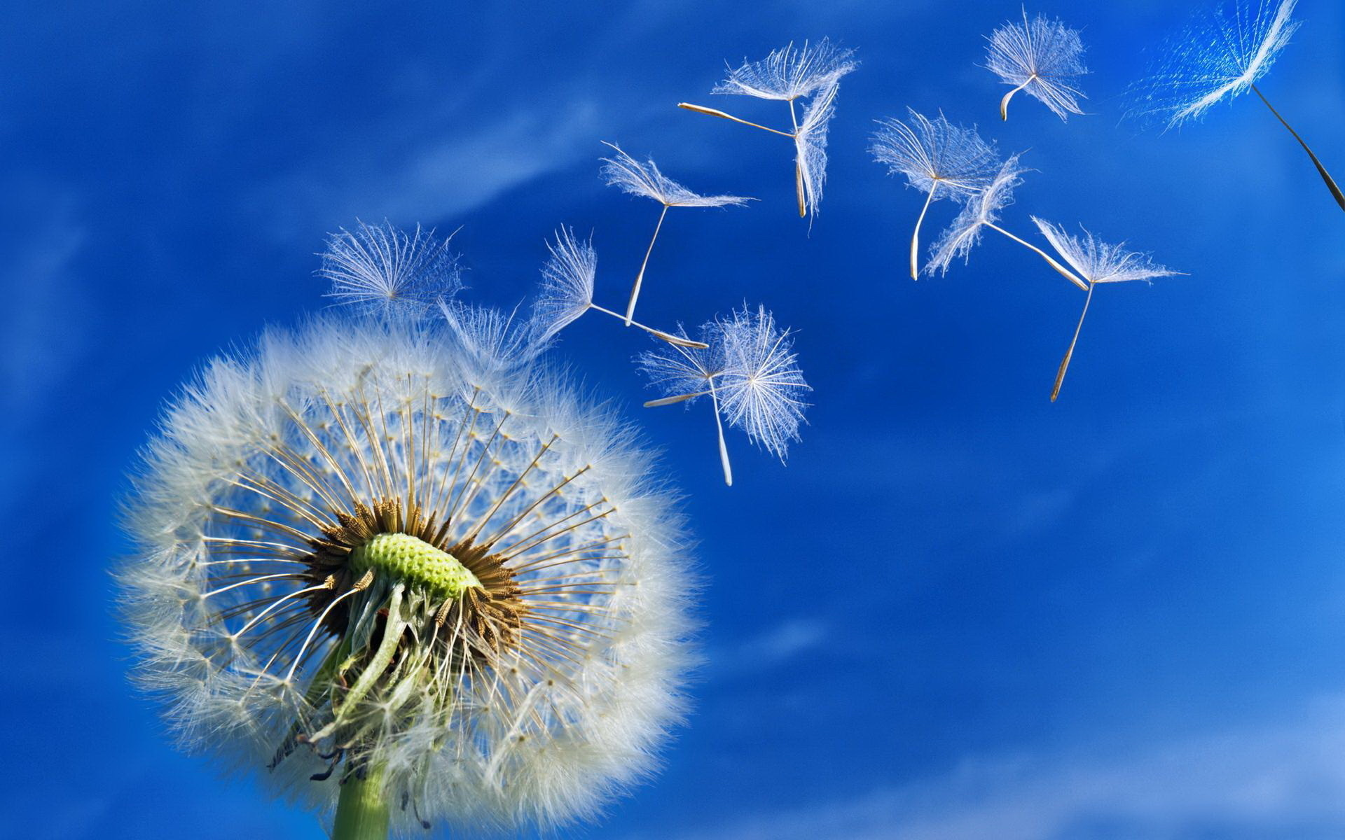 Dandelion-Background-Wallpapers-HD-Free-Download-08