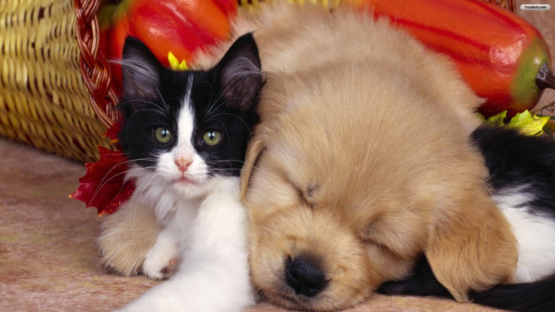 Free Cute Dog and Cat Wallpaper HD