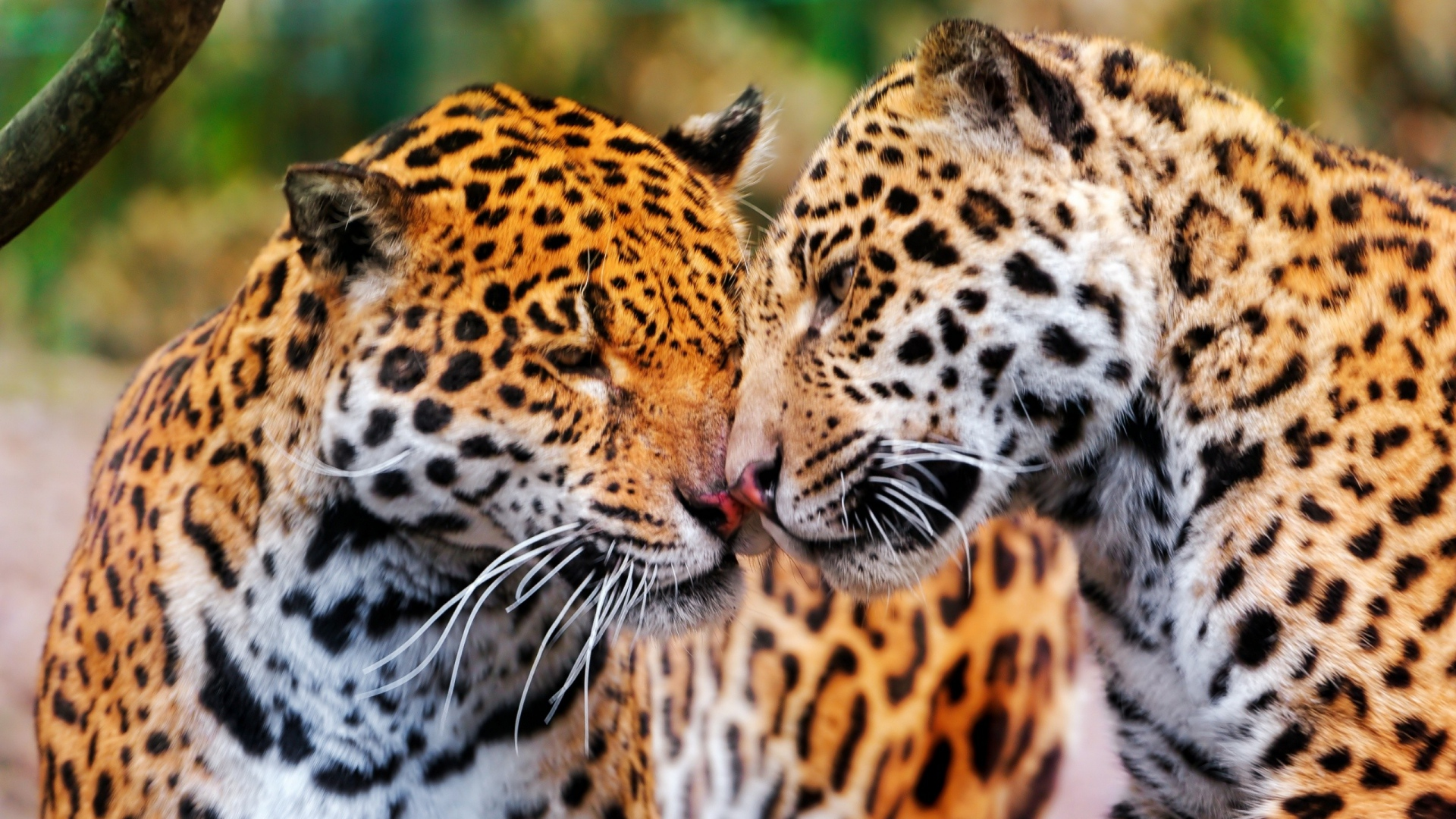 1920×1080-jaguar-Wallpaper-hd-03