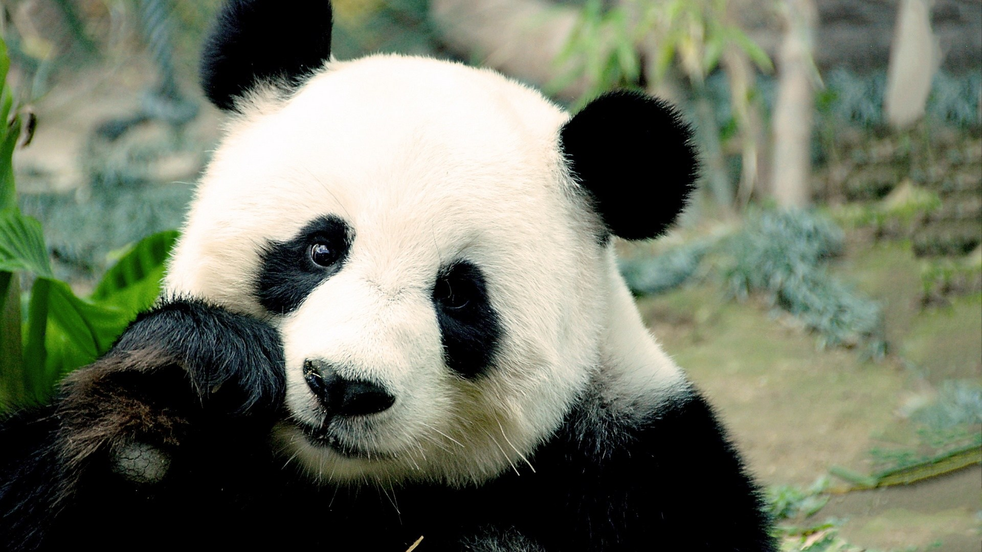Cute Panda Wallpaper Hd
