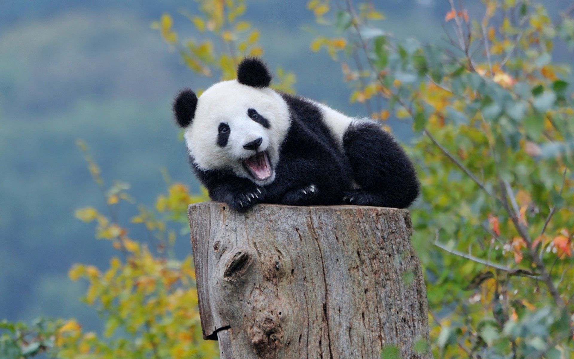 Amazing Panda Wallpaper 07
