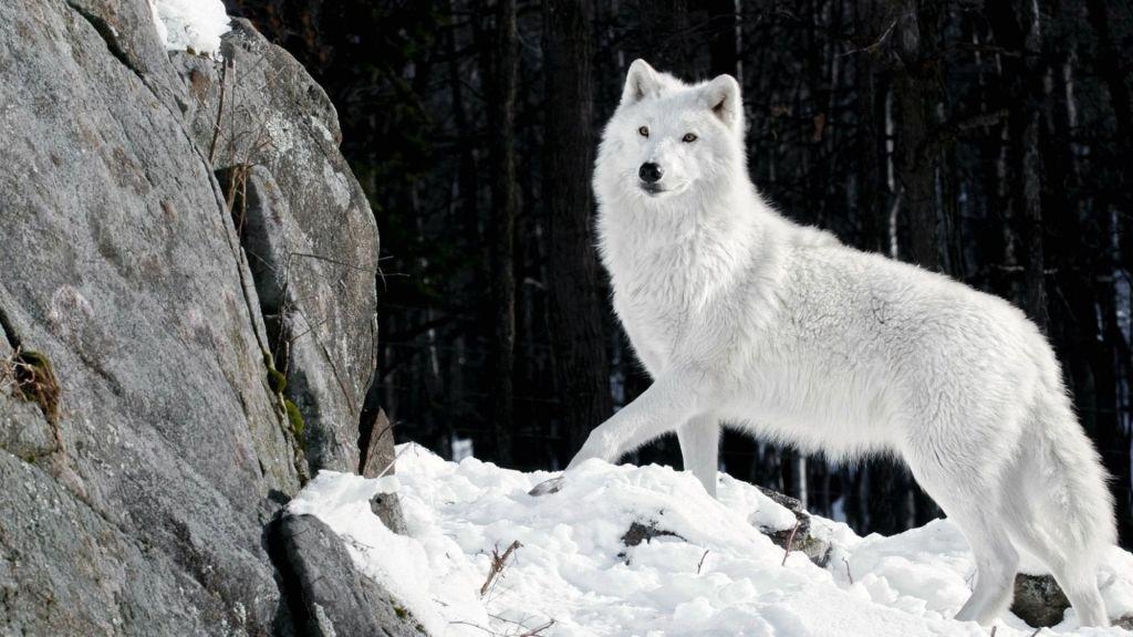 Download 8500 Koleksi Background Hd Wolf Gratis Terbaik