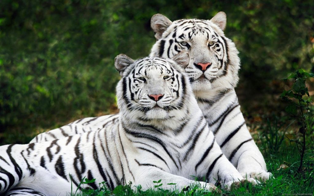 White Tiger Wallpaper Hd 1080p